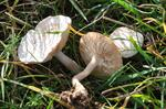 Fools Funnel (Clitocybe rivulosa)